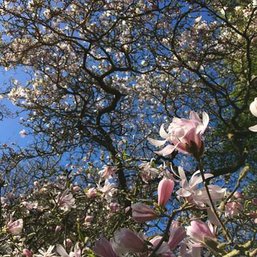 Magnolia stellata 'Rosea'