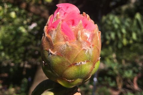 Rhododendron macabeanum bud