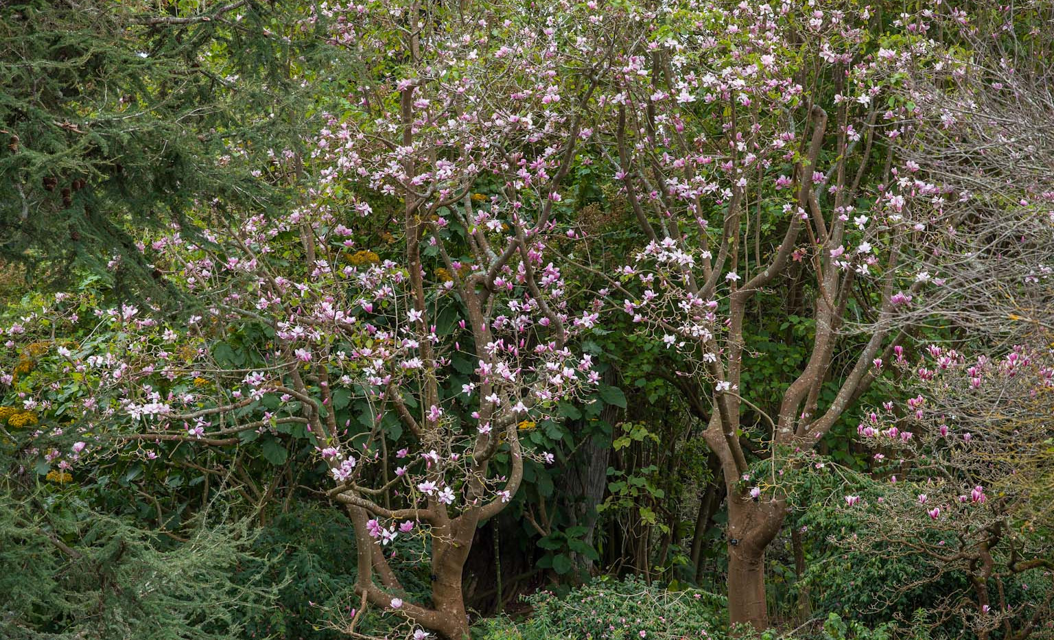 Magnolia sprengeri