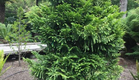 Retrophyllum_rospigliosii1.jpg
