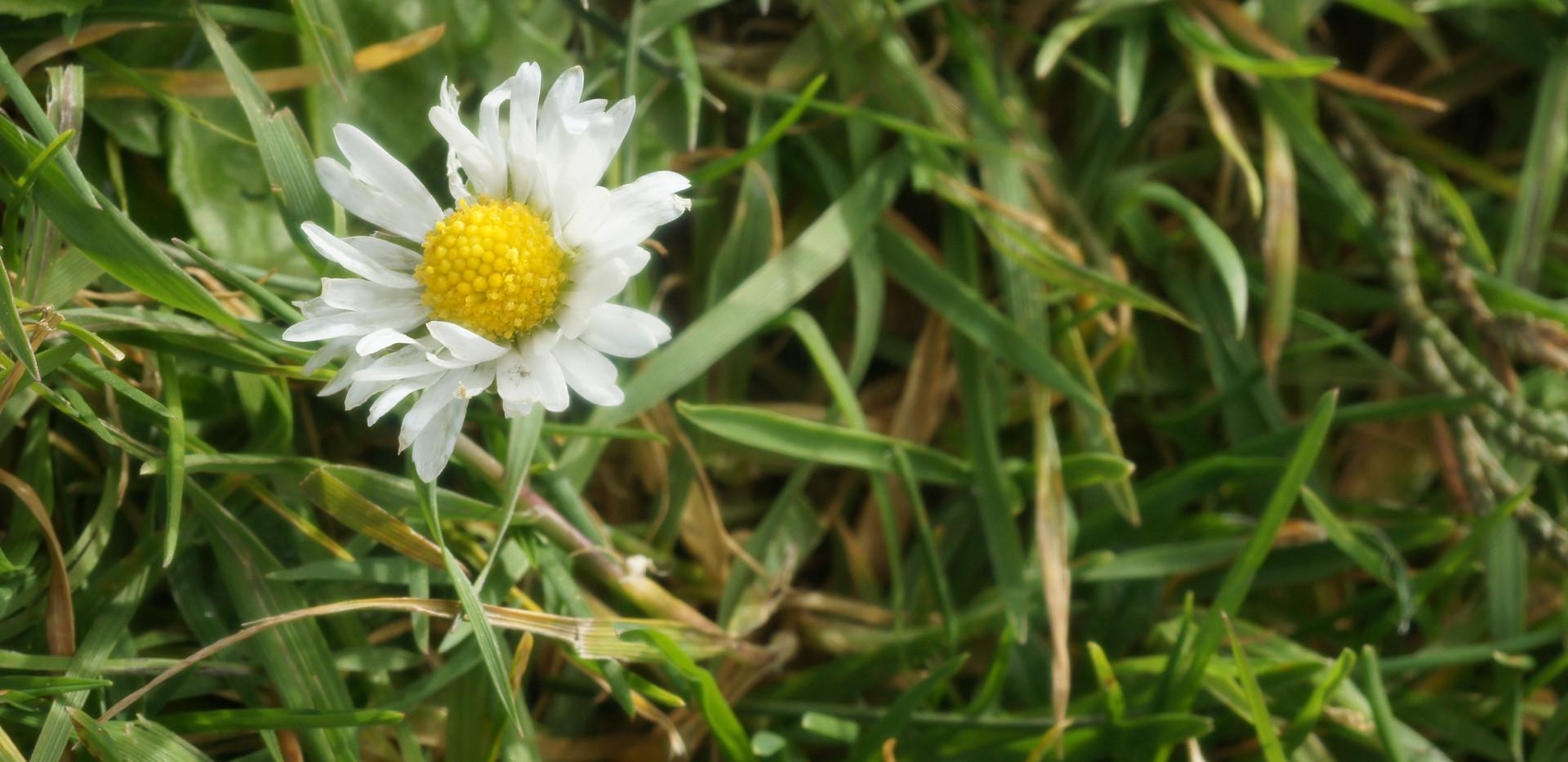 Lawn Daisy 4