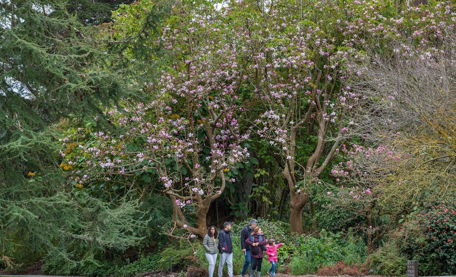 Visitors admire Magnolia sprengeri
