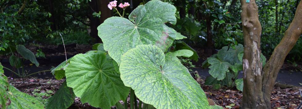 Begonia fusca