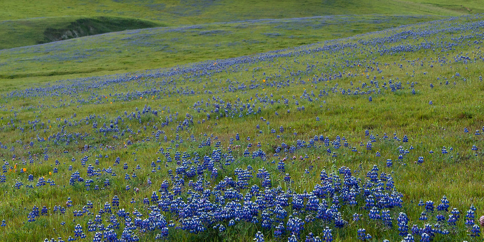 Wildflowers at Sears Point: A Talk With Garden Curator Ryan Guillou