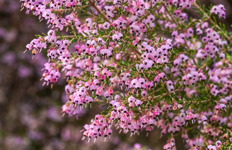Erica caniculata