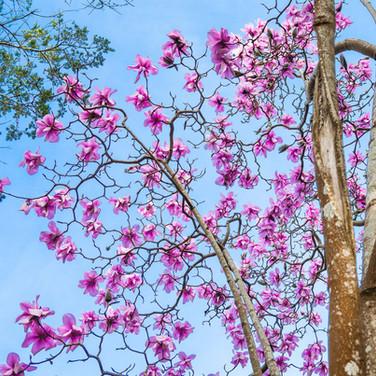 Magnolia sargentiana