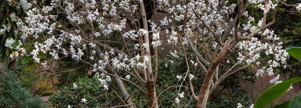 Magnolia campbellii 'Strybing White'