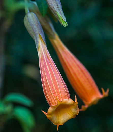Brugmansia sp. in Andean Cloud Forest (1