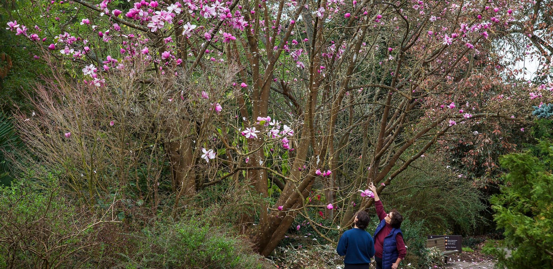 Visitors admire Magnolia sprengeri 'Diva'