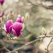 Magnolia x soulangeana 'Rustica Rubra'