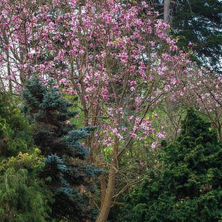 Magnolias and Conifers