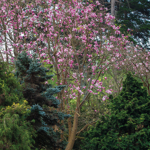 Magnolias and Conifers