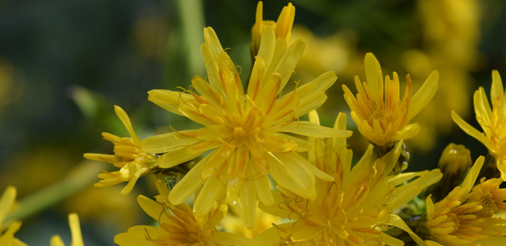 Sonchus palmensis