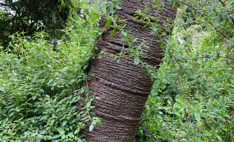 Auracaria angustifolia