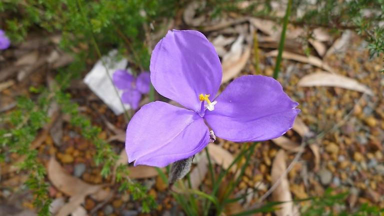 Sydney's Wildflowers with Nathalie Nagalingum - Webinar