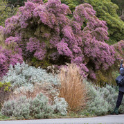 Visitors enjoy winter-blooming Christmas heather (Erica caniculata)