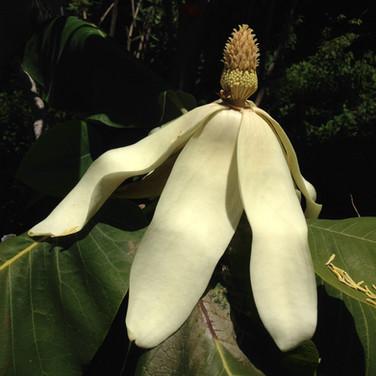 Magnolia macrophylla var dealbata