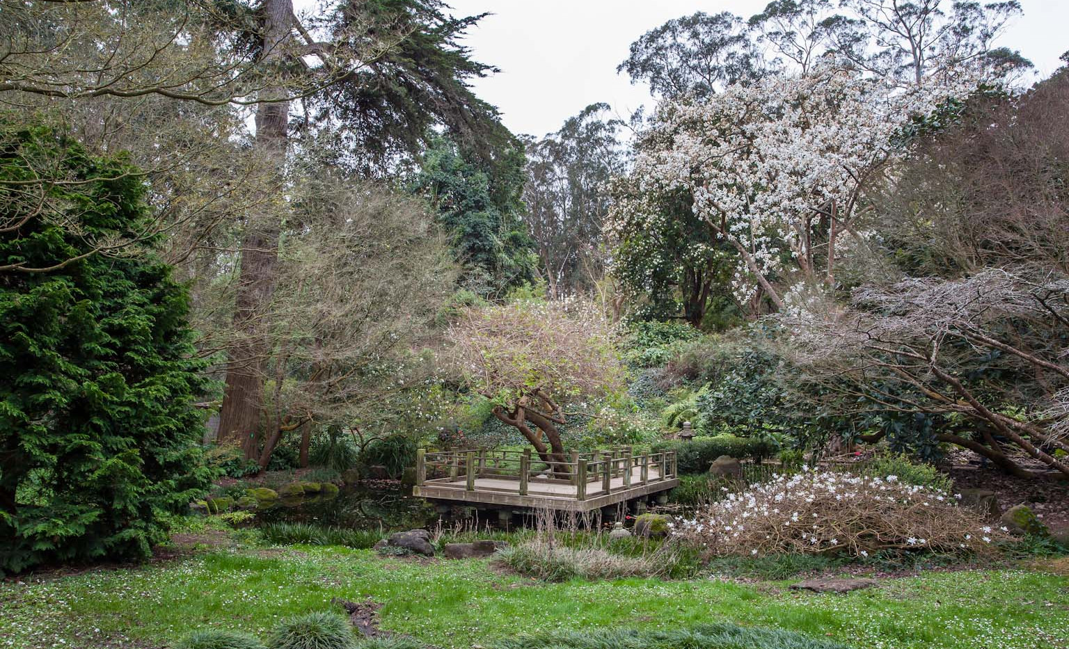 Magnolia campbellii 'Strybing White' over the Moon Viewing Garden