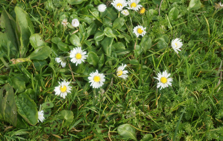 Lawn Daisy 5