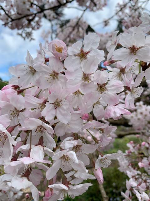 Prunus x yedoensis