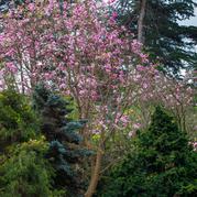 Magnolia sprengeri and Magnolia dawsonia