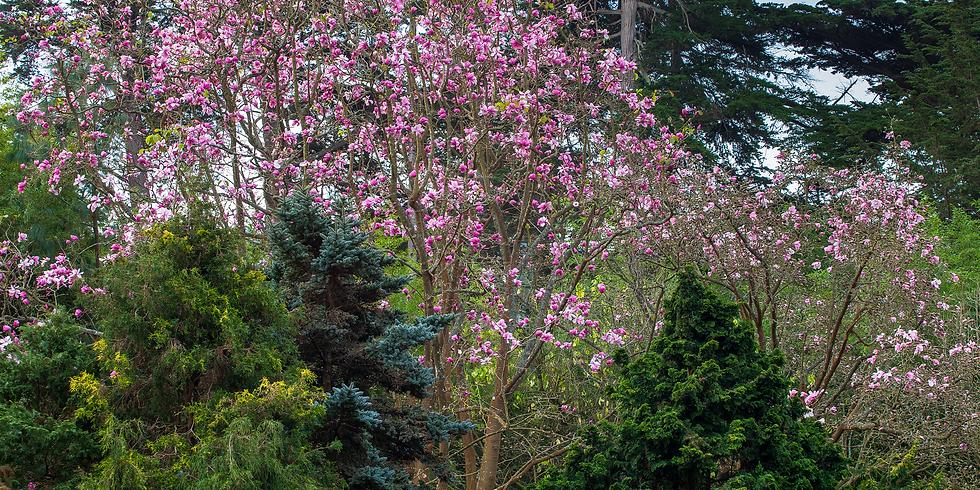 Magnolia Meditation