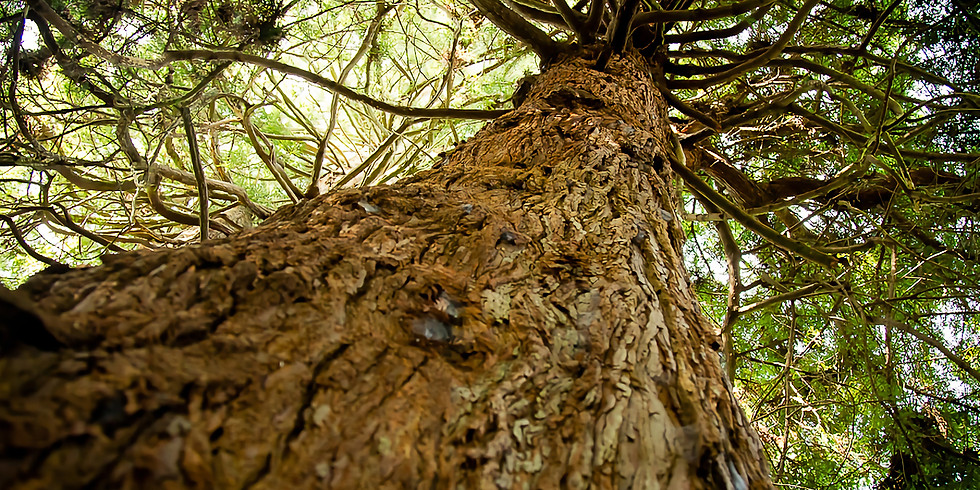 Garden Meditation - Redwood Grove