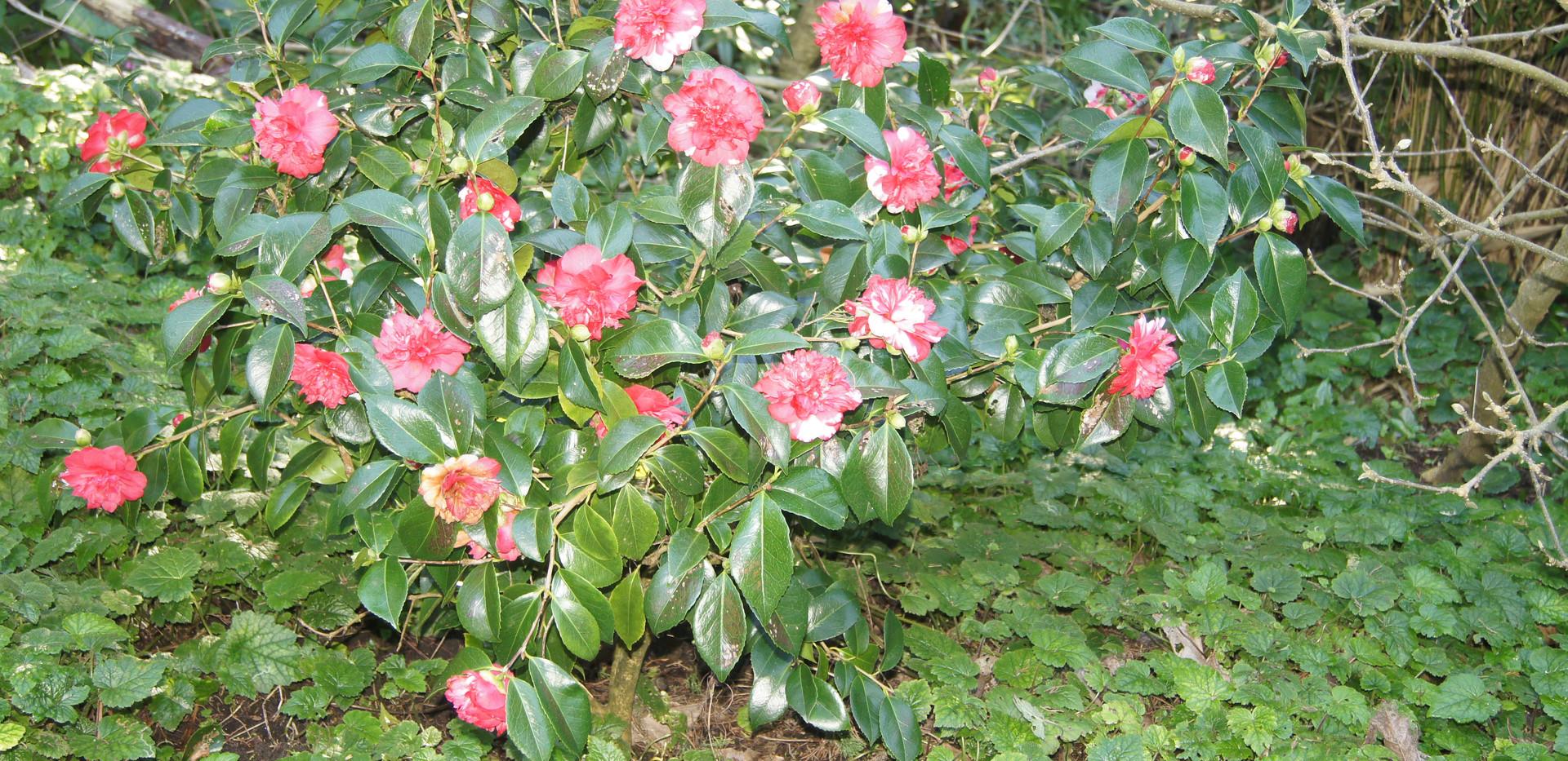 C. japonica 'Clarise Carlton'