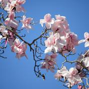 Magnolia campbellii 'Late Pink'