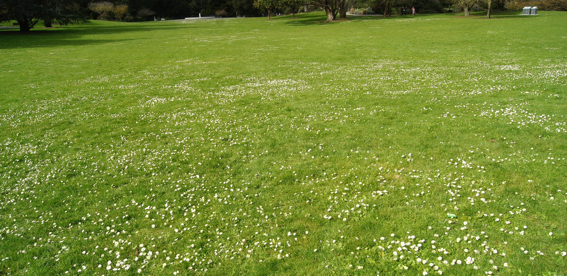 Lawn Daisy 3