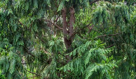 Retrophyllum rospigliosii 3 - Saxon Holt.jpg