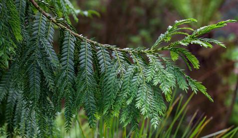 Retrophyllum rospigliosii - Saxon Holt.jpg