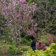 Visitors enjoying the winter magnificent magnolia bloom
