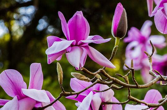 Magnolia sargentiana - Saxon Holt (1).jp