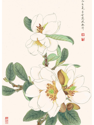 Magnolia laevifolia 'Strybing Compact' by Janny Huang