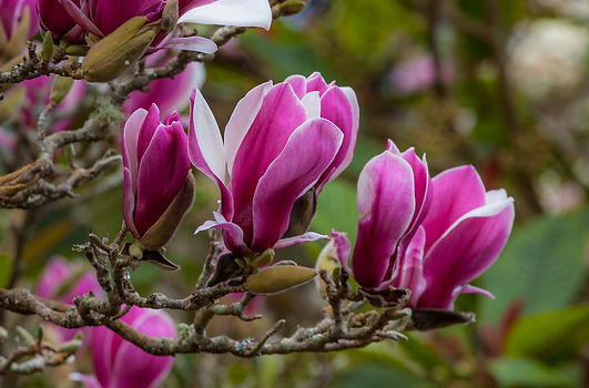 Magnolia x soulangeana - Saxon Holt.jpg