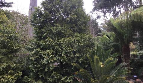 Retrophyllum_rospigliosii2.jpg