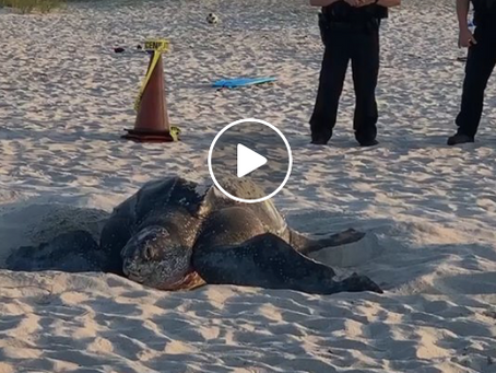 800 Pound Sea Turtle Spotted Nesting on Melbourne Beach