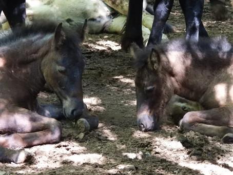 Sonno profondo: è vero che i cavalli dormono in piedi?