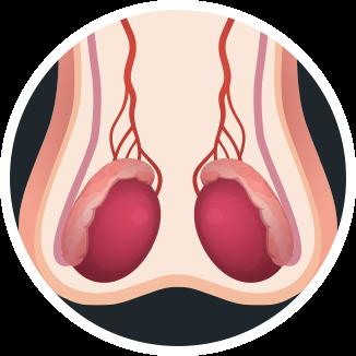 Los testículos y la testosterona.