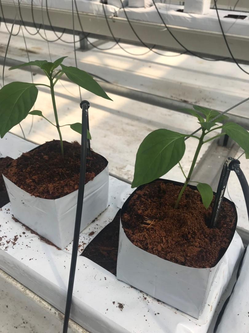 Baby Paprika Plants