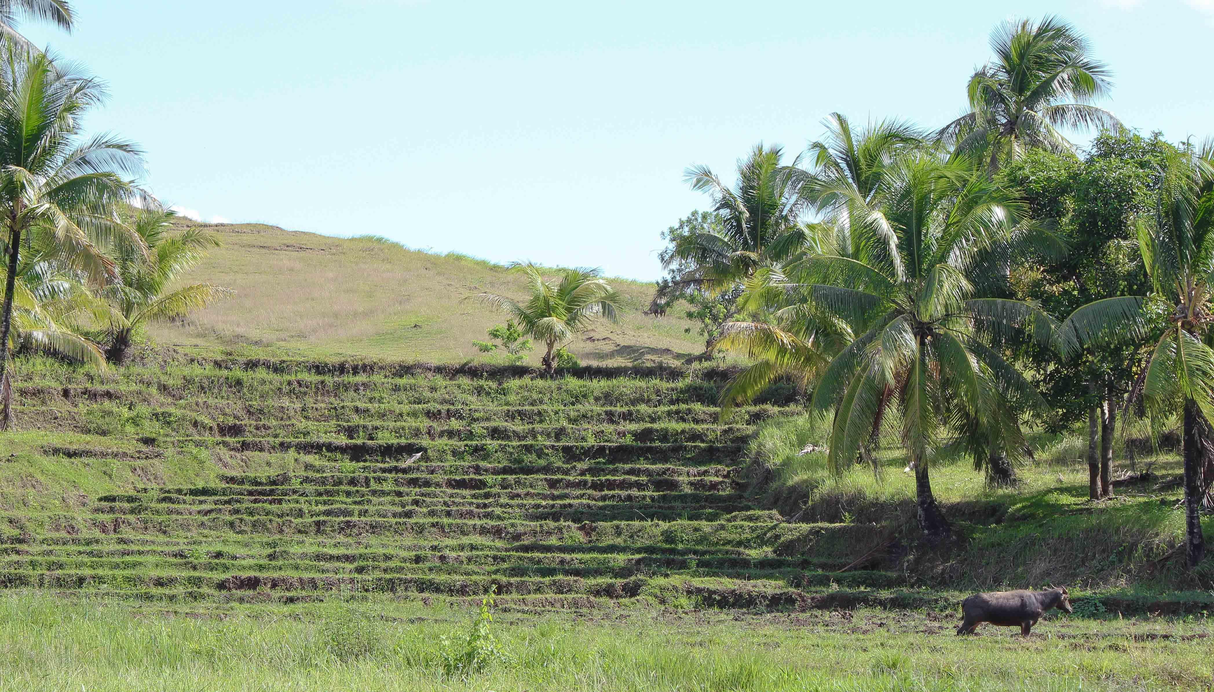 Vesipuhveli ja riisiviljelmiä