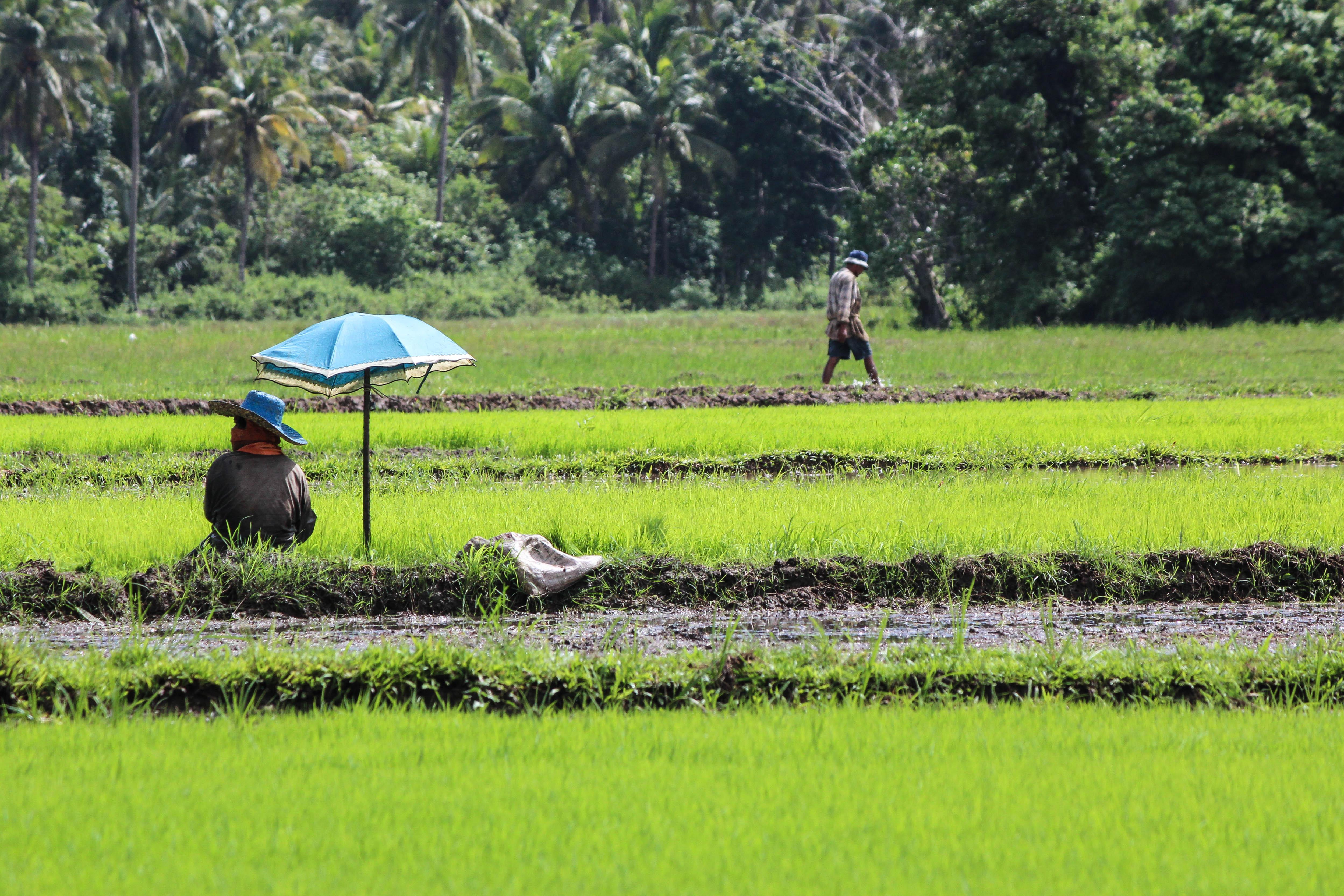 Riisin kylvämistä