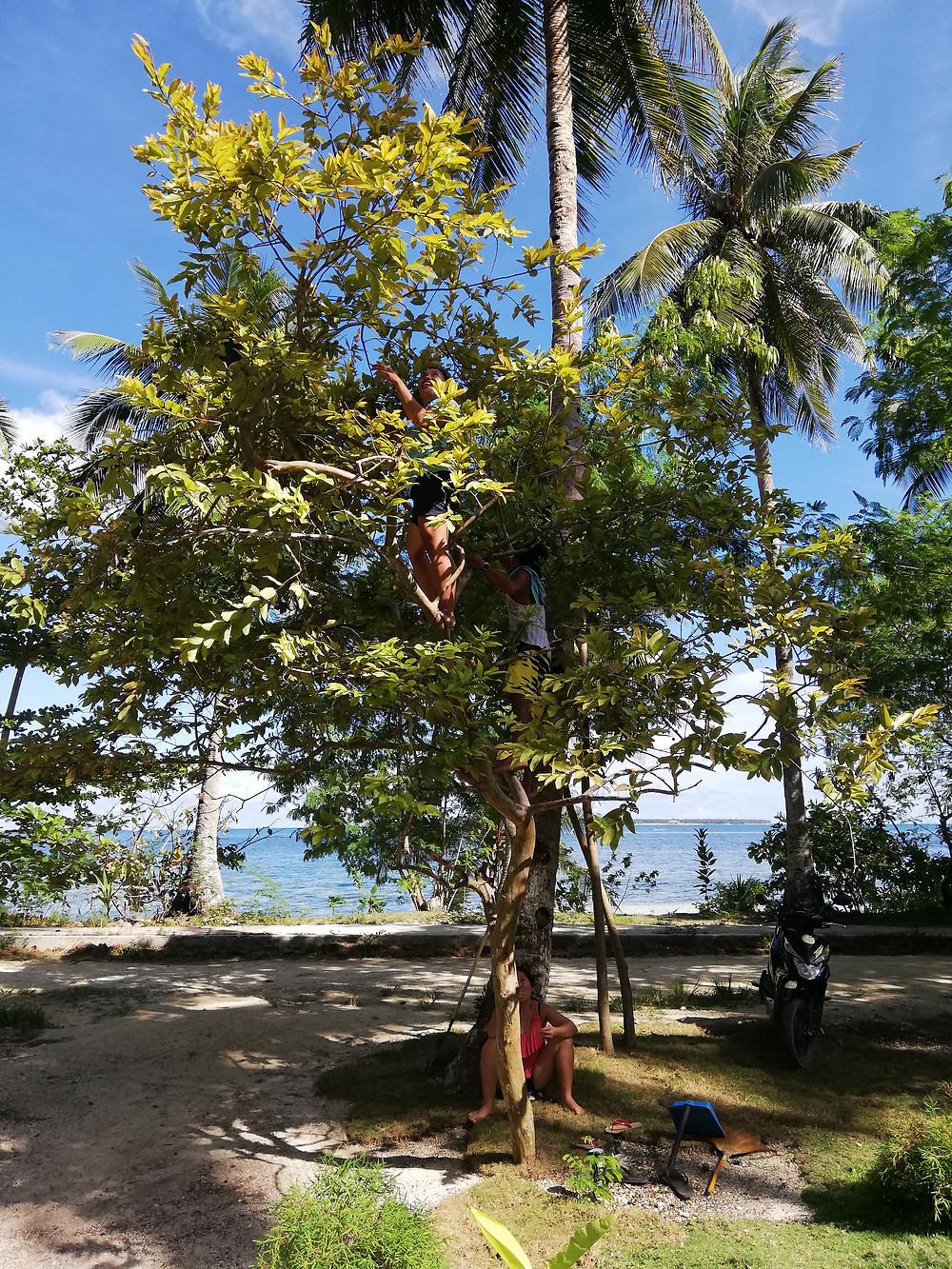 Juliet ja John guavapuussa