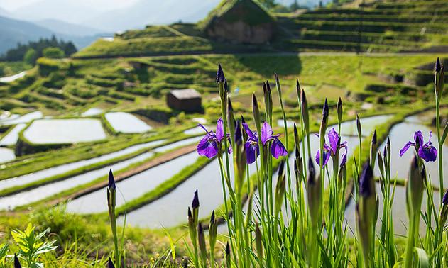 菖蒲の花と棚田