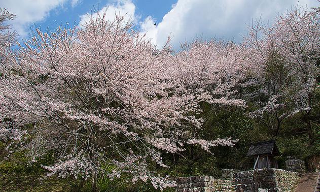 丸山神社の桜