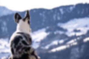 Corginique | Liebevolle Welsh Corgi Cardigan Zucht in der Schweiz - Mitglied in der SKG sowie im Schweizerischen Welsh Corgi Klub, anerkannt von der FCI