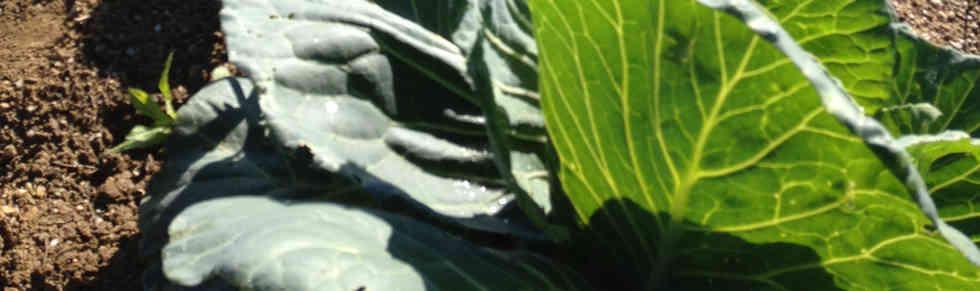 Anbau_Gemüse.jpg