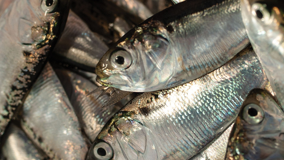 Bacteria to Blame for Dead Fish in New Jersey?