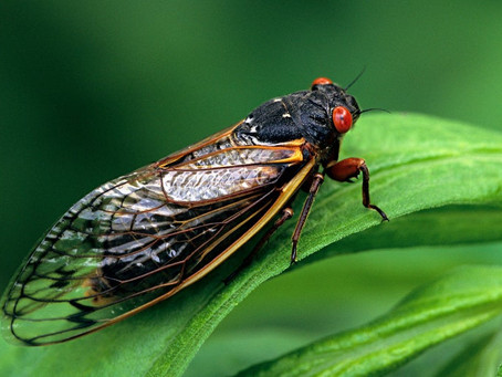 The Cicadas are Coming! The Cicadas are Coming!